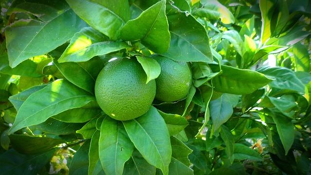 Como plantar limon