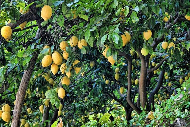como plantar semillas de limon