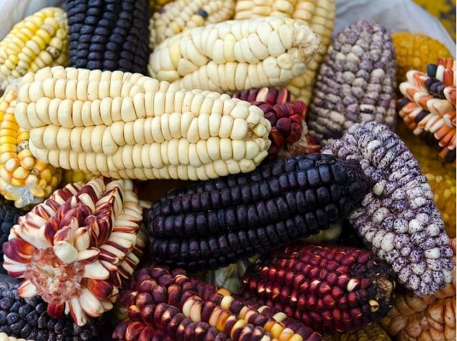 como sembrar maiz