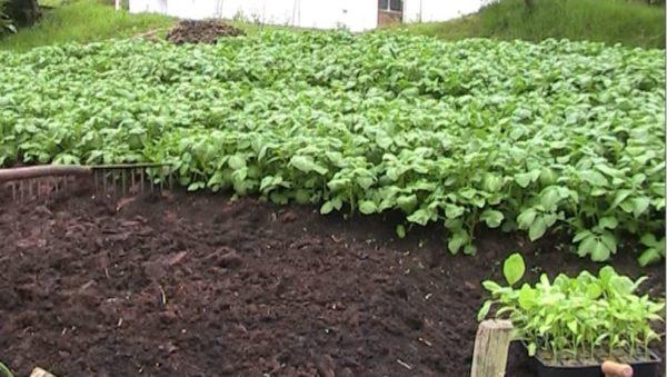 como plantar berenjenas