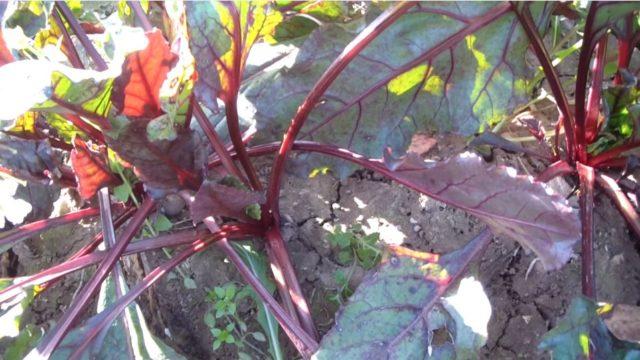 como sembrar remolacha