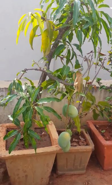 como plantar mangos