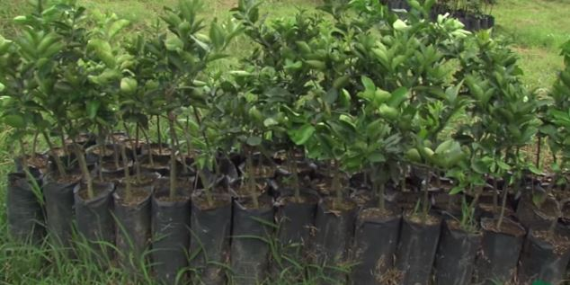 Plantas de Naranja ya injertadas