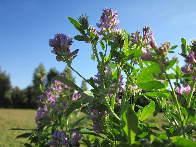 como sembrar alfalfa
