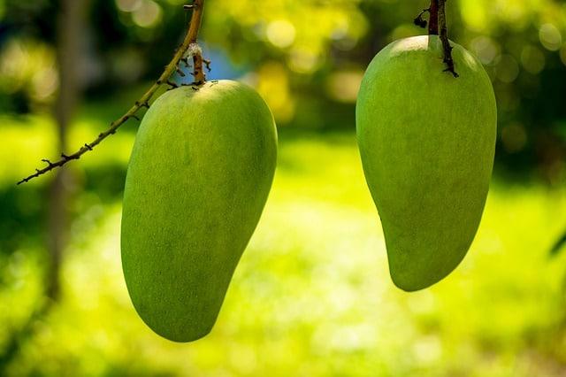 como sembrar mangos