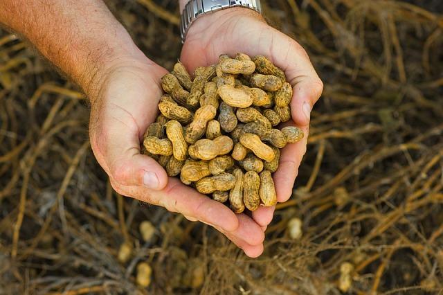 como sembrar mani