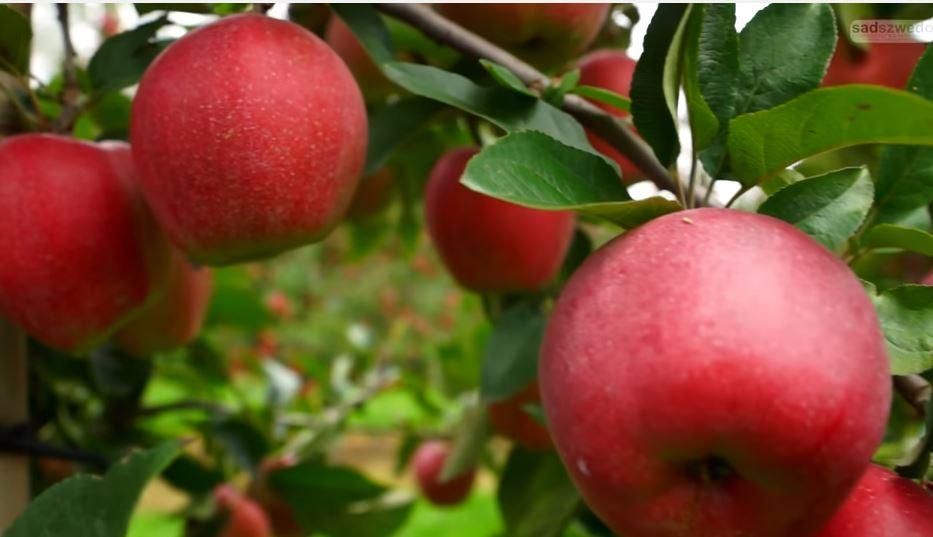 Como sembrar manzanas consejos cuidados y cosecha for En cuanto tiempo se cosecha la tilapia