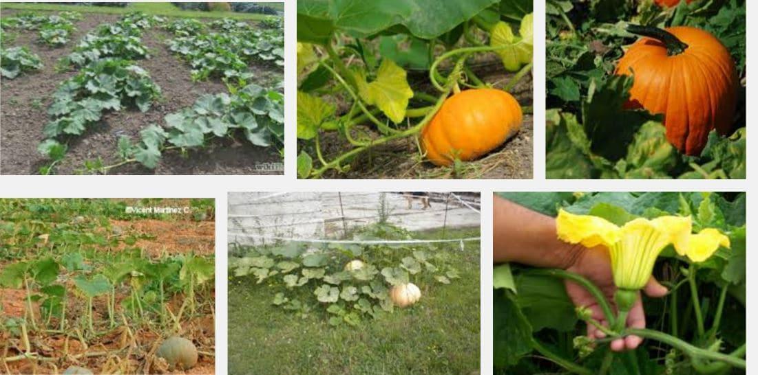 como sembrar calabazas