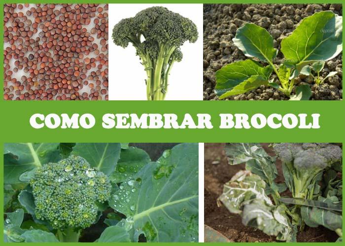 como sembrar brocoli
