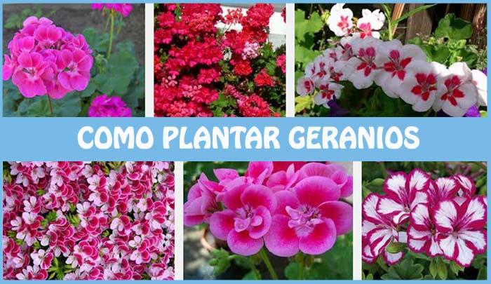 Como plantar geranios sus cuidados y algunos tipos - Tipos de plantas y sus cuidados ...