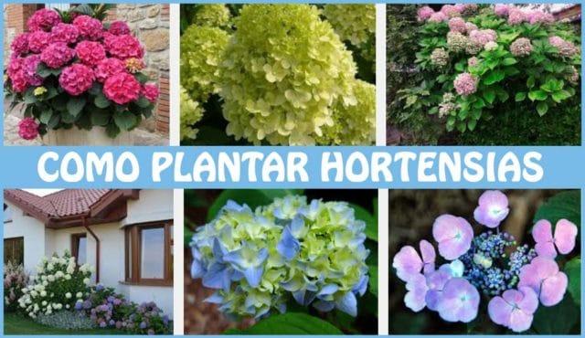 Como plantar hortensias cuidados consejos y plantacion for Hortensias cultivo y cuidados