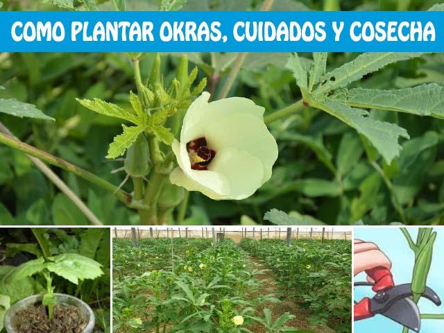 como plantar okra