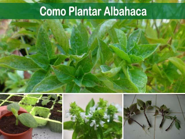 como plantar albahaca