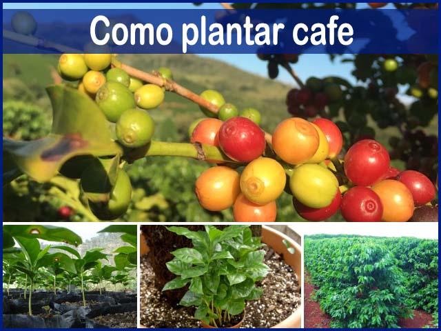 como plantar cafe