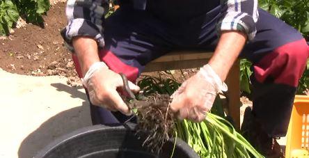 cortar las raices ajo porro