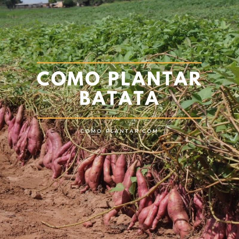 Como plantar batatas o camotes