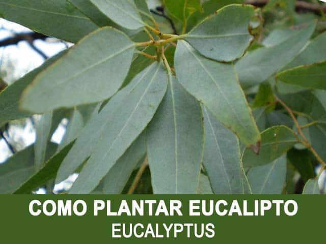 como plantar eucalipto