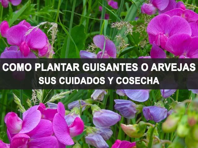 como plantar guisantes o arvejas