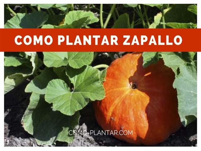 como plantar zapallo