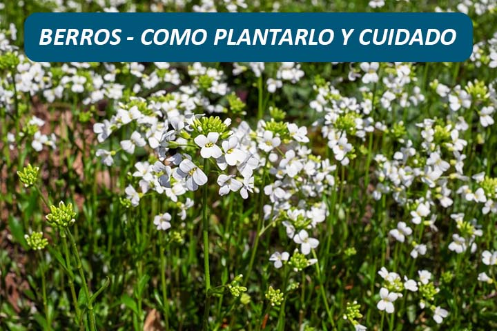 COMO PLANTAR BERRO EN HOGAR Y MACETA, CUIDADOS