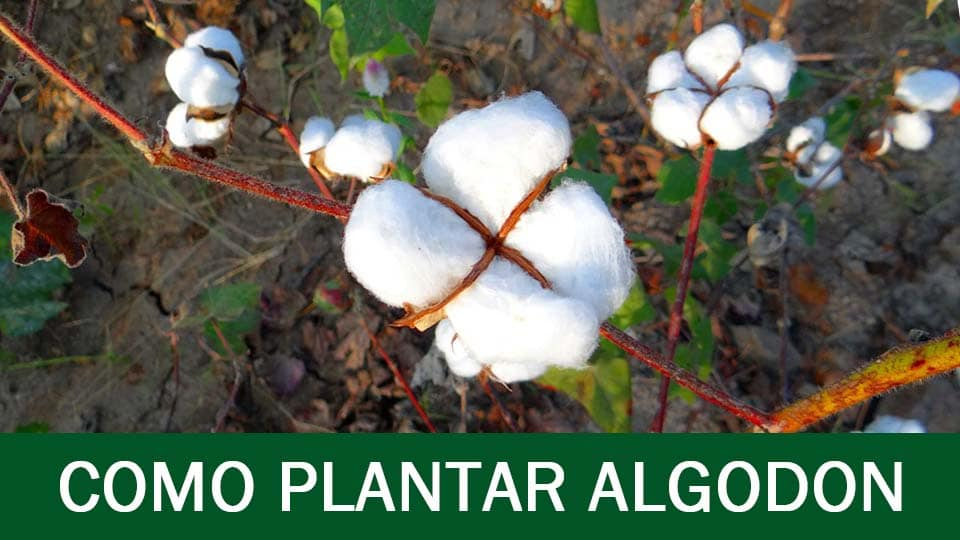 cultivo del algodon