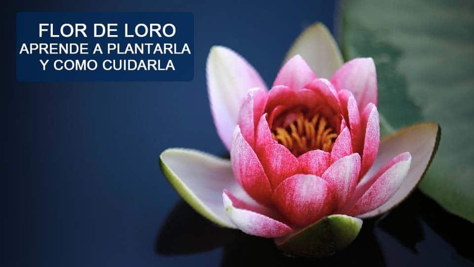 como plantar flor de loto