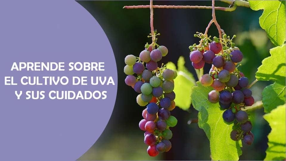 como plantar uvas o planta de vid, cuidados y variedades