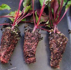 plantulas de remolacha listas para trasplantar