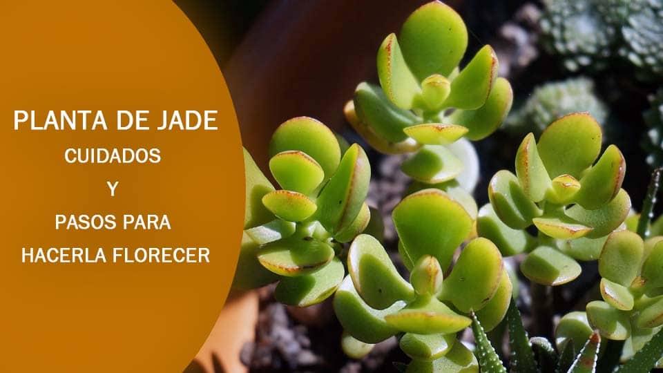 como plantar jade cuidados y como hacerla florecer