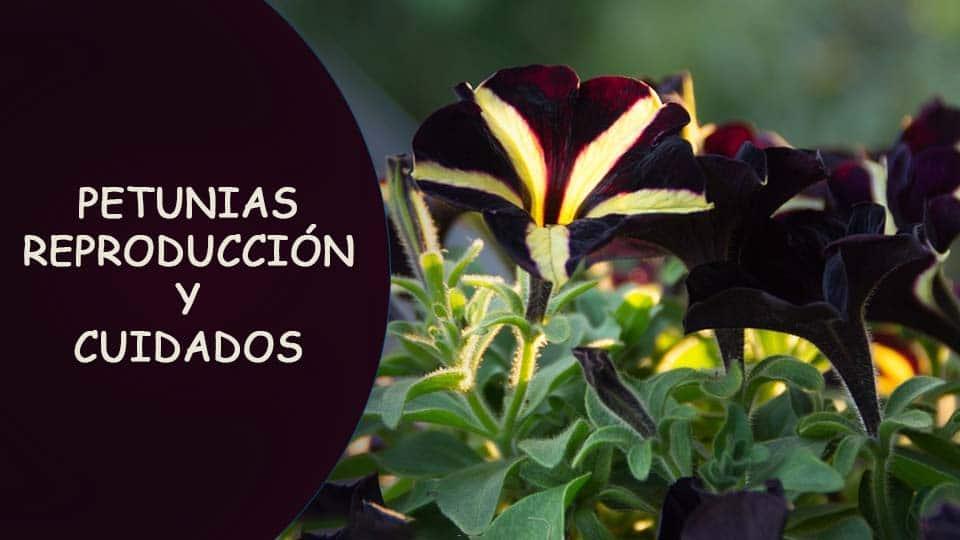 como plantar petunias y reproduccion