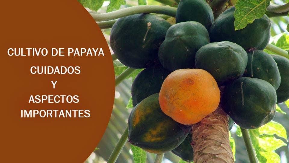 Agua con limon y semillas de papaya