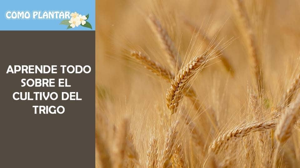 Aprende a sembrar trigo