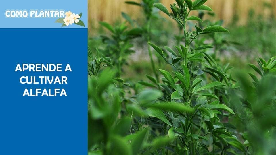 Como cultivar Alfalfa