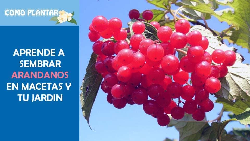 como sembrar arandanos desde semillas y esquejes