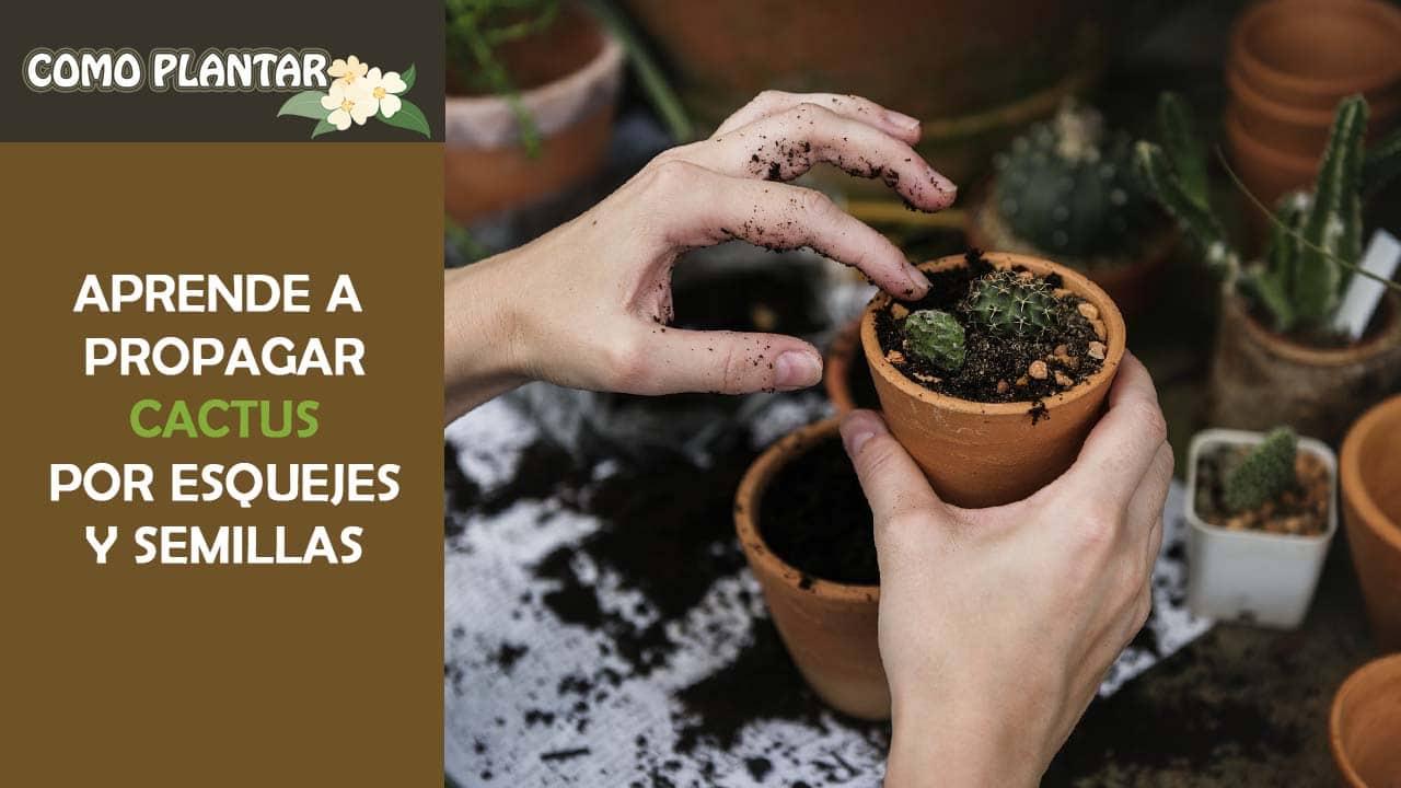 plantar cactus