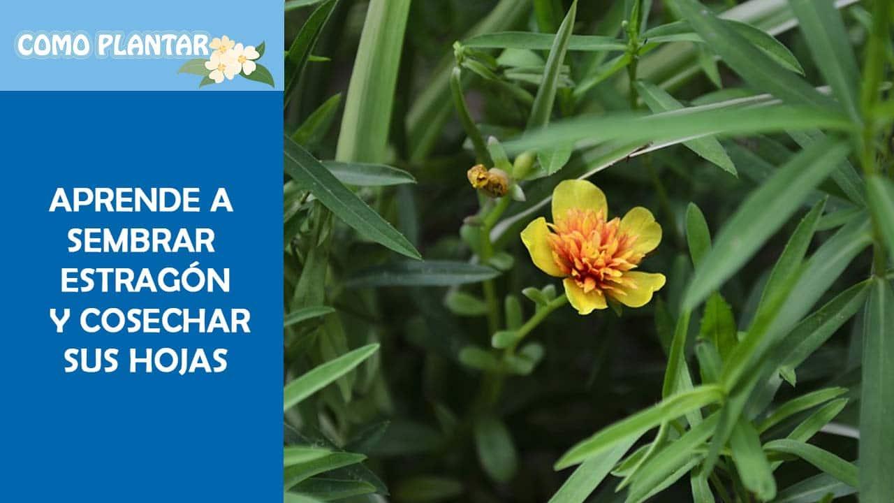 Guía para sembrar estragón, cuidar y cosechar esta hierba aromática