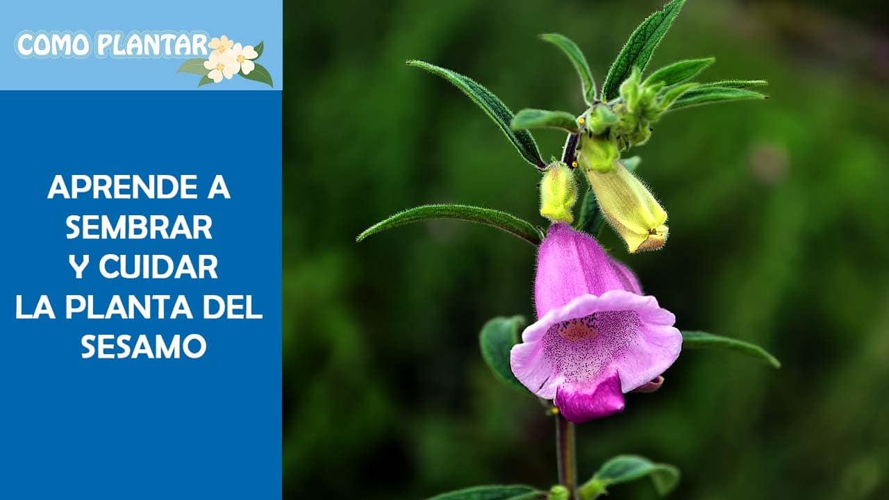 Guía para cultivar y cuidar la planta de sésamo