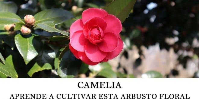 Aprende a cultivar camelia