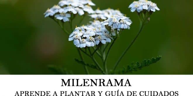 Cómo plantar Milenrama y guía de cuidados