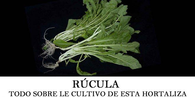 Cómo plantar rúcula o eruca sativa