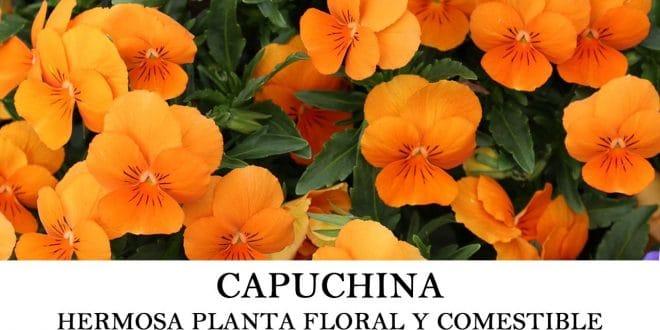 Cómo plantar capuchina o Tropaeolum majus