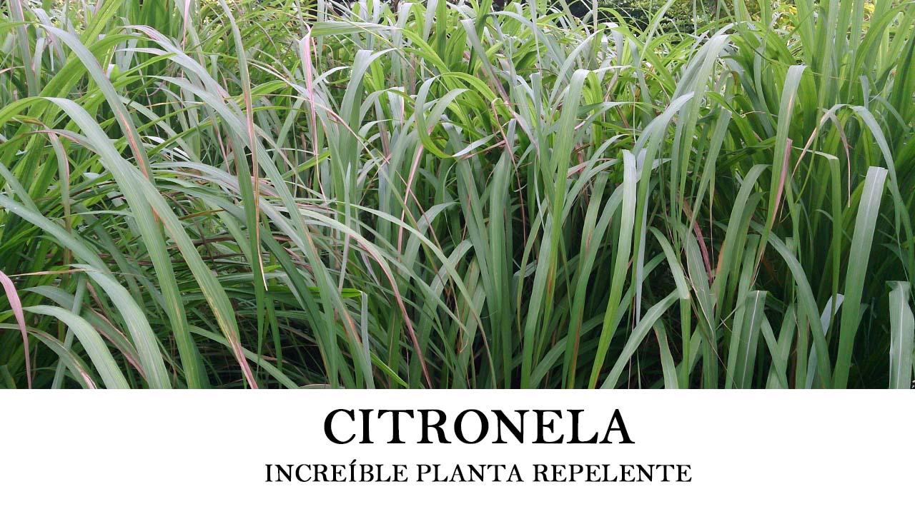 Cómo plantar citronela o Cymbopogon nardus