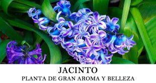 Cómo plantar jacinto o Hyacinthus orientalis