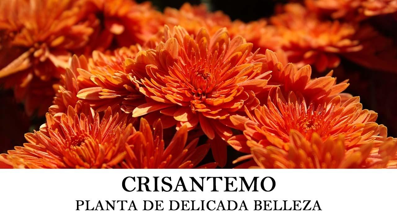 Cómo sembrar Crisantemo o Chrysanthemum