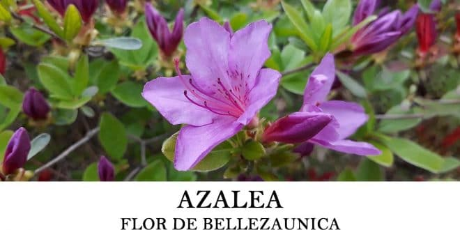 Cómo sembrar azaleas o Rhododendron simsii