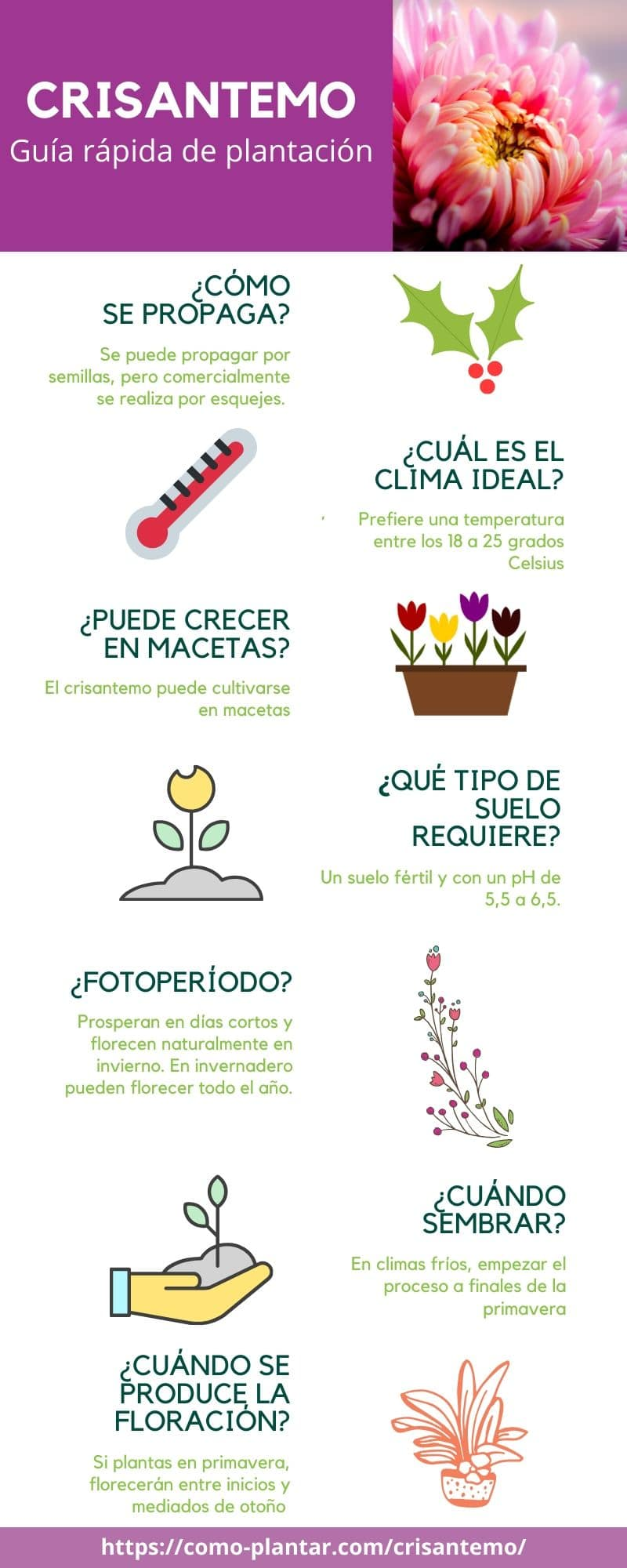 Guía para el cultivo del crisantemo