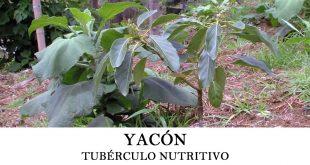 Cómo plantar yacón o Smallanthus sonchifolius