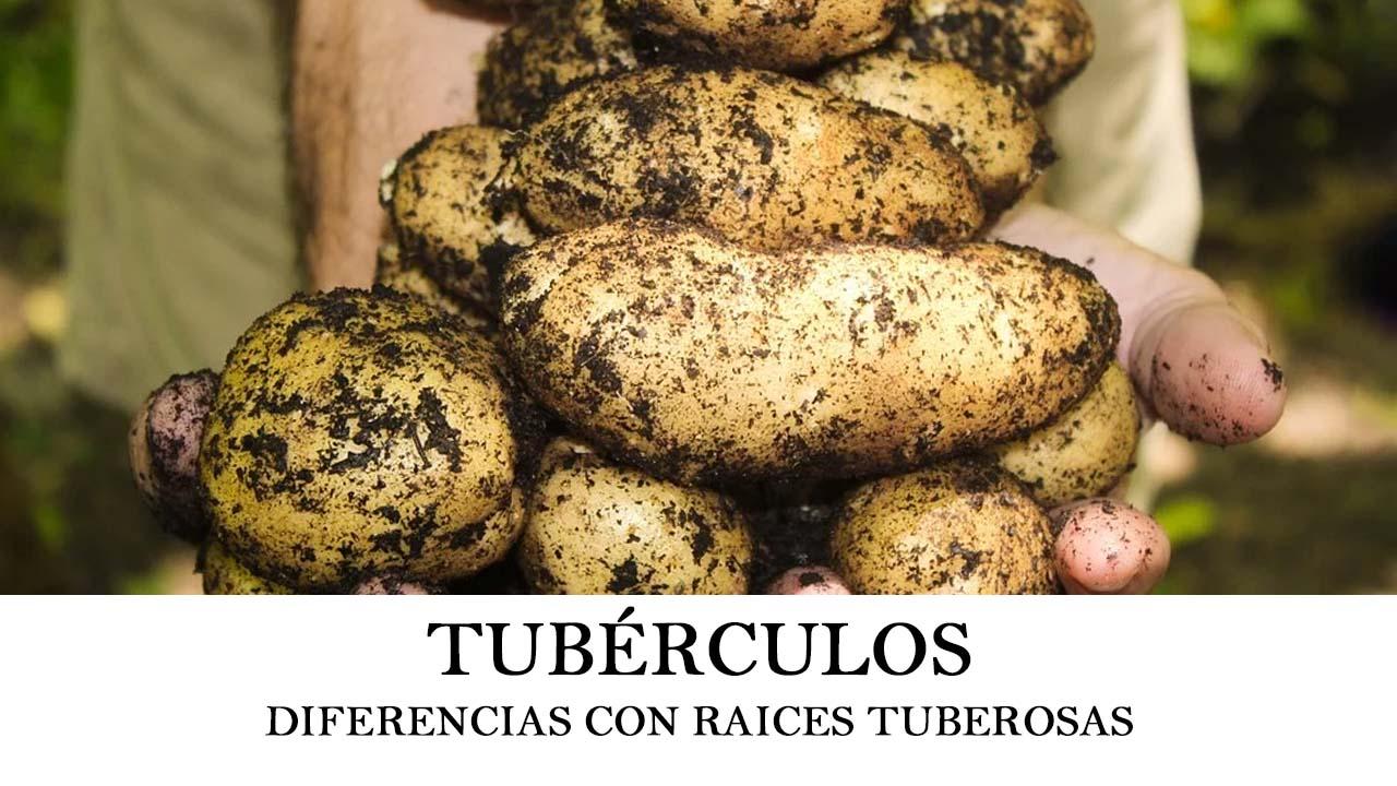 Tubérculo y diferencias con las raíces tuberosas