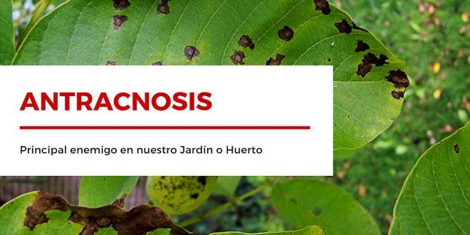 Cómo tratar la Antracnosis - Principal enemigo de nuestro huerto o jardín