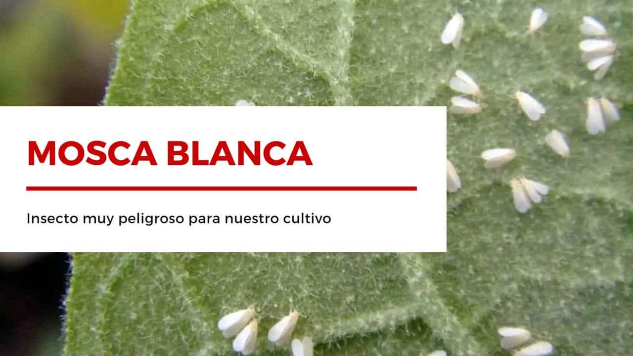 Las Moscas Blancas son insectos que debilitan nuestro cultivo
